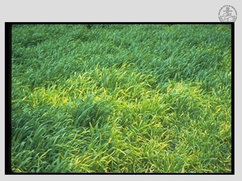 Havrebladlus Anholocyklisk Sommer Vårbyg Vinter