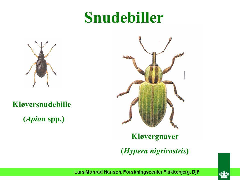 Snudebiller Kløversnudebille (Apion spp.) Kløvergnaver (Hypera nigrirostris)