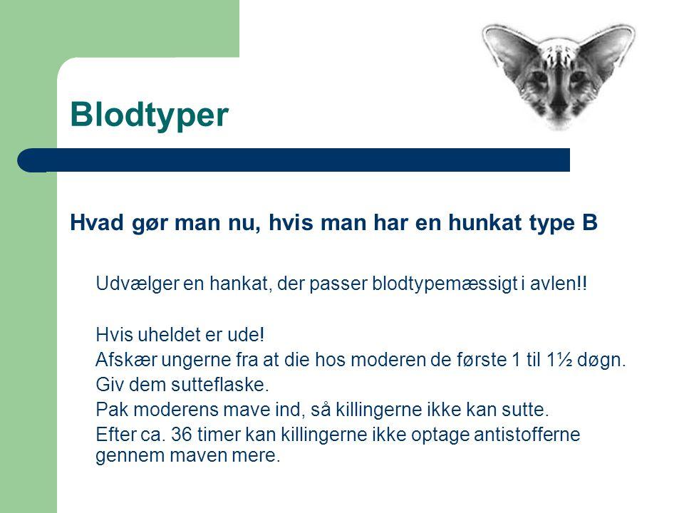Blodtyper Hvad gør man nu, hvis man har en hunkat type B Udvælger en hankat, der passer blodtypemæssigt i avlen!.