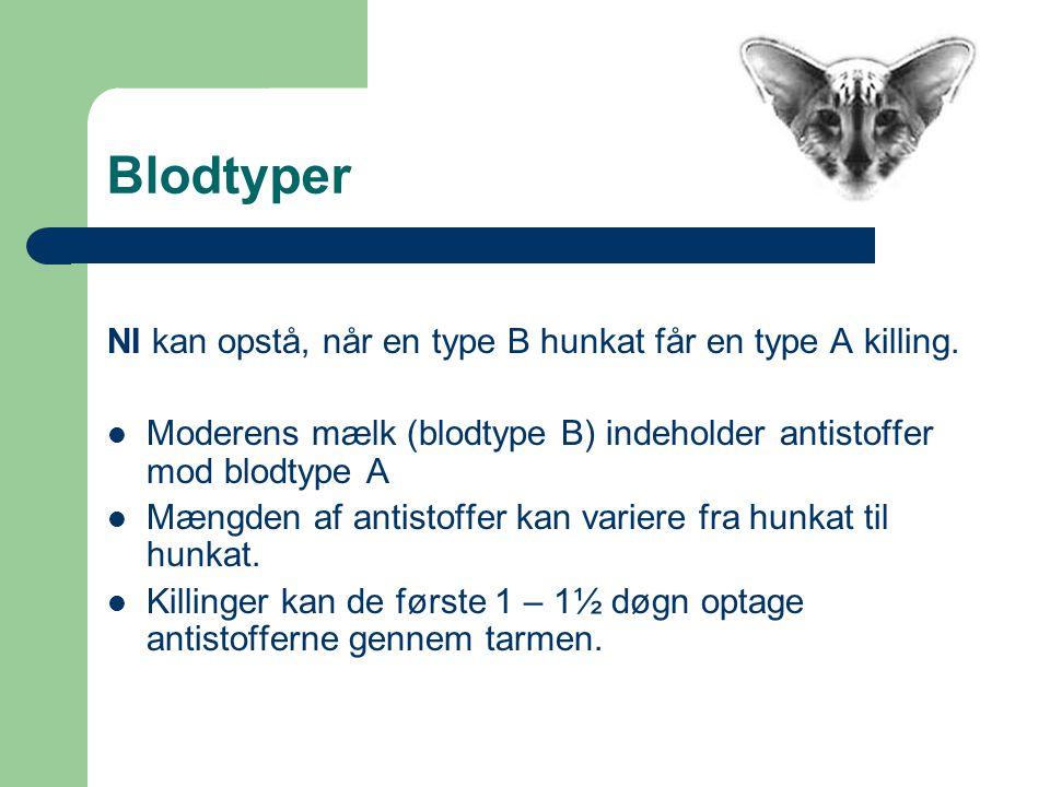 Blodtyper NI kan opstå, når en type B hunkat får en type A killing.