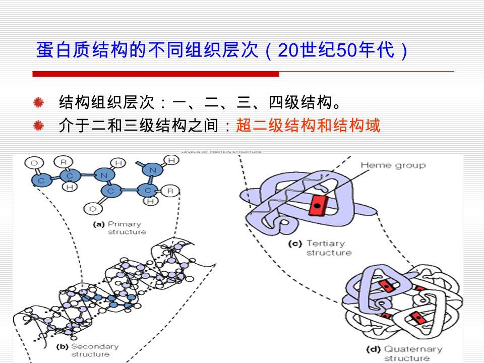 23 蛋白质结构的不同组织层次( 20 世纪 50 年代) 结构组织层次:一、二、三、四级结构。 介于二和三级结构之间:超二级结构和结构域