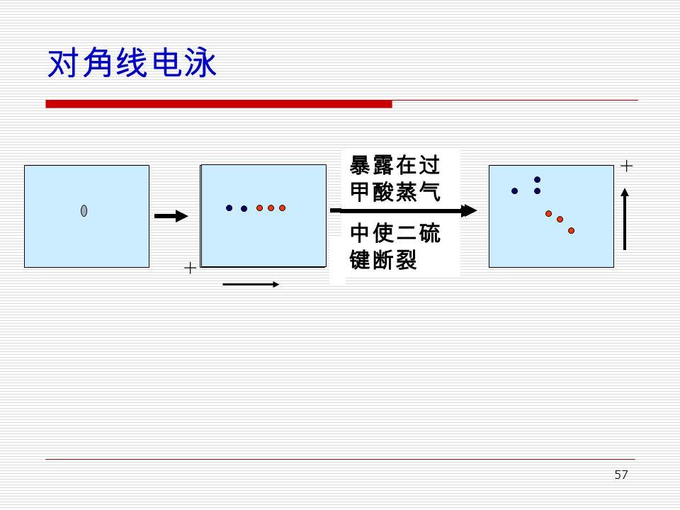 57 对角线电泳 暴露在过 甲酸蒸气 中使二硫 键断裂 + +