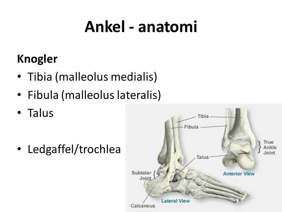 Ankel - anatomi Knogler Tibia (malleolus medialis) Fibula (malleolus lateralis) Talus Ledgaffel/trochlea