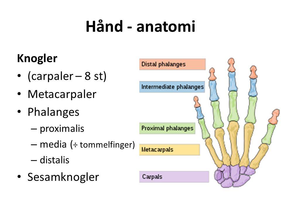 Hånd - anatomi Knogler (carpaler – 8 st) Metacarpaler Phalanges – proximalis – media ( ÷ tommelfinger) – distalis Sesamknogler