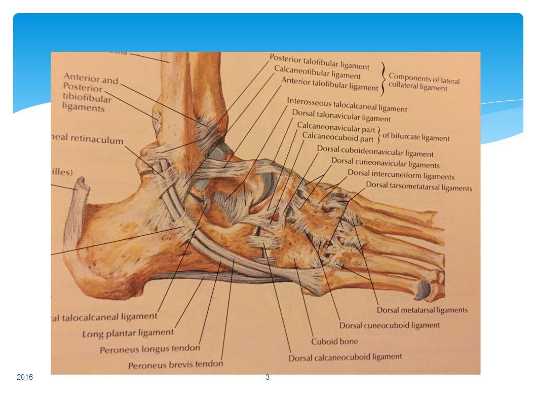 Forår 2013Lars Buch Bevægeapperatet14 FODLEDDET  Distortioner, ligament rupturer:  Ved laterale malleol  Ved mediale malleol  Syndesmoseruptur  Senerupturer:  Achillessenen (partiel og total) 2016 14