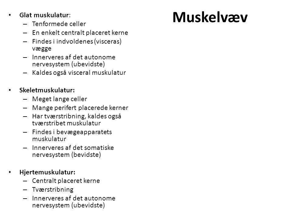 Muskelvæv Glat muskulatur: – Tenformede celler – En enkelt centralt placeret kerne – Findes i indvoldenes (visceras) vægge – Innerveres af det autonome nervesystem (ubevidste) – Kaldes også visceral muskulatur Skeletmuskulatur: – Meget lange celler – Mange perifert placerede kerner – Har tværstribning, kaldes også tværstribet muskulatur – Findes i bevægeapparatets muskulatur – Innerveres af det somatiske nervesystem (bevidste) Hjertemuskulatur: – Centralt placeret kerne – Tværstribning – Innerveres af det autonome nervesystem (ubevidste)