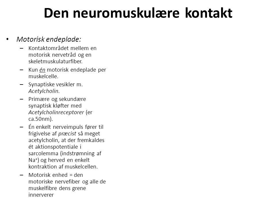 Den neuromuskulære kontakt Motorisk endeplade: – Kontaktområdet mellem en motorisk nervetråd og en skeletmuskulaturfiber.