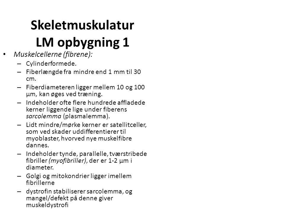 Skeletmuskulatur LM opbygning 1 Muskelcellerne (fibrene): – Cylinderformede.