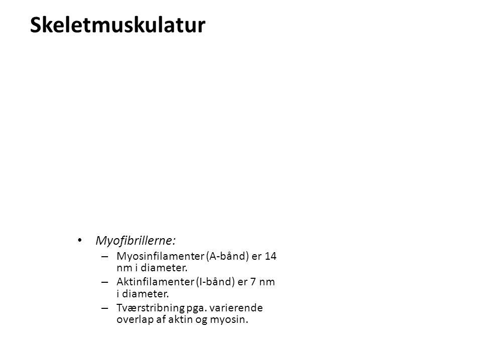 Skeletmuskulatur Myofibrillerne: – Myosinfilamenter (A-bånd) er 14 nm i diameter.