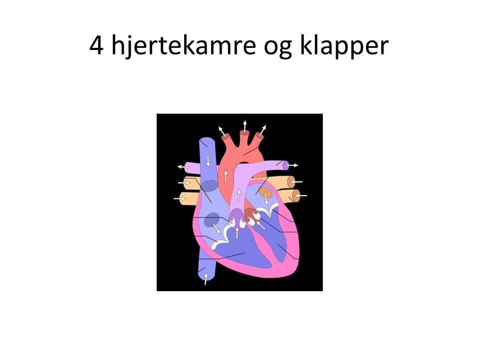 4 hjertekamre og klapper