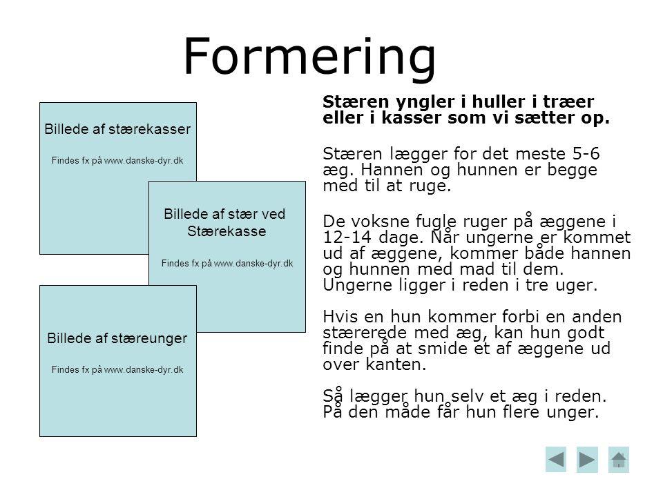 Formering Stæren yngler i huller i træer eller i kasser som vi sætter op.