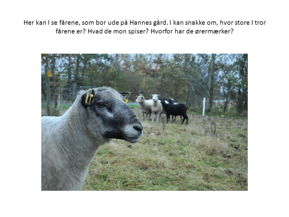Her kan I se fårene, som bor ude på Hannes gård. I kan snakke om, hvor store I tror fårene er.