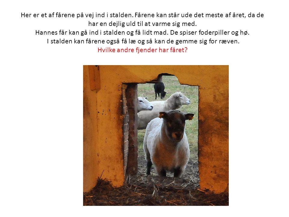 Her er et af fårene på vej ind i stalden.