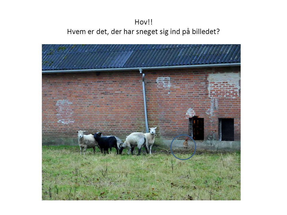 Her er et billede af hønsene, der bor på Hannes gård.