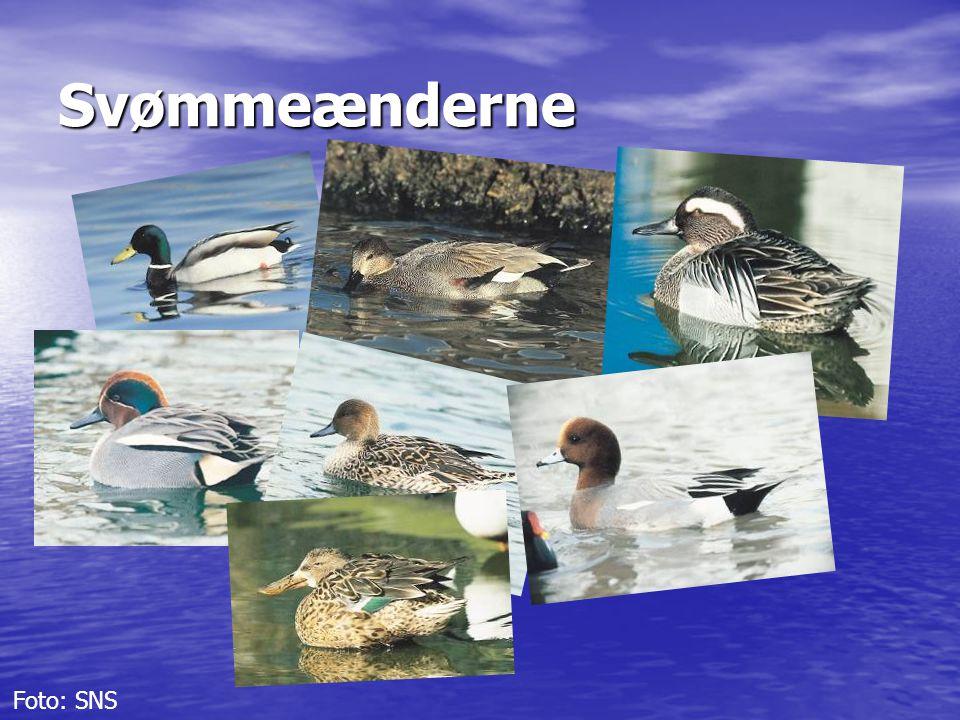 Svømmeænderne Foto: SNS