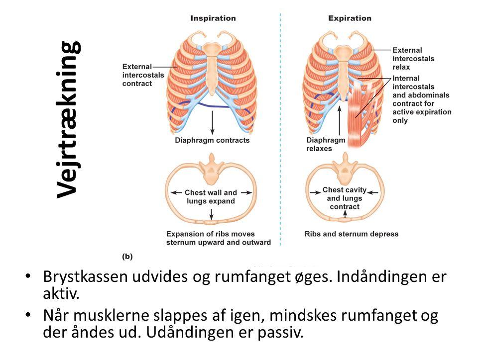 Vejrtrækning • Brystkassen udvides og rumfanget øges. Indåndingen er aktiv. • Når musklerne slappes af igen, mindskes rumfanget og der åndes ud. Udånd