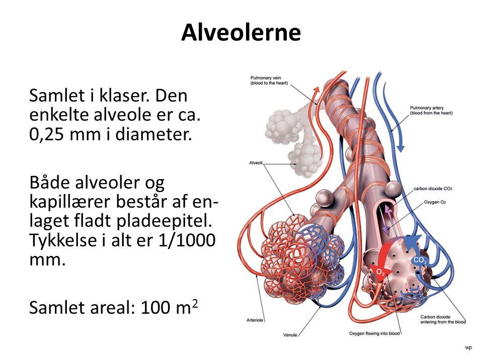 Alveolerne Samlet i klaser. Den enkelte alveole er ca. 0,25 mm i diameter. Både alveoler og kapillærer består af en- laget fladt pladeepitel. Tykkelse