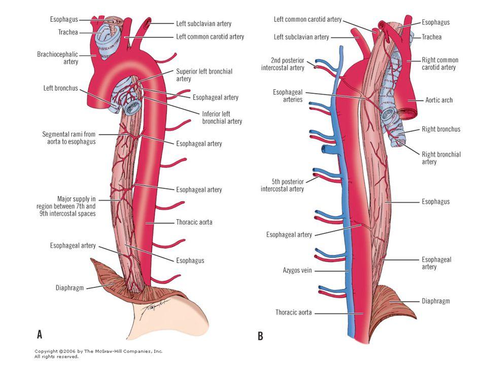Lungernes funktionelle blod Opgave: At fordele det afiltede blod ud i lungevævet, således at der skabes kontakt med alveolerne, hvor der kan udveksles ilt og kuldioxid.