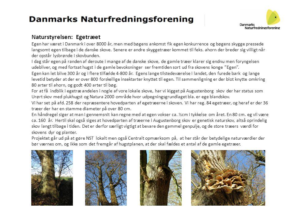 Naturstyrelsen: Egetræet Egen har været i Danmark i over 8000 år, men med bøgens ankomst fik egen konkurrence og bøgens skygge pressede langsomt egen