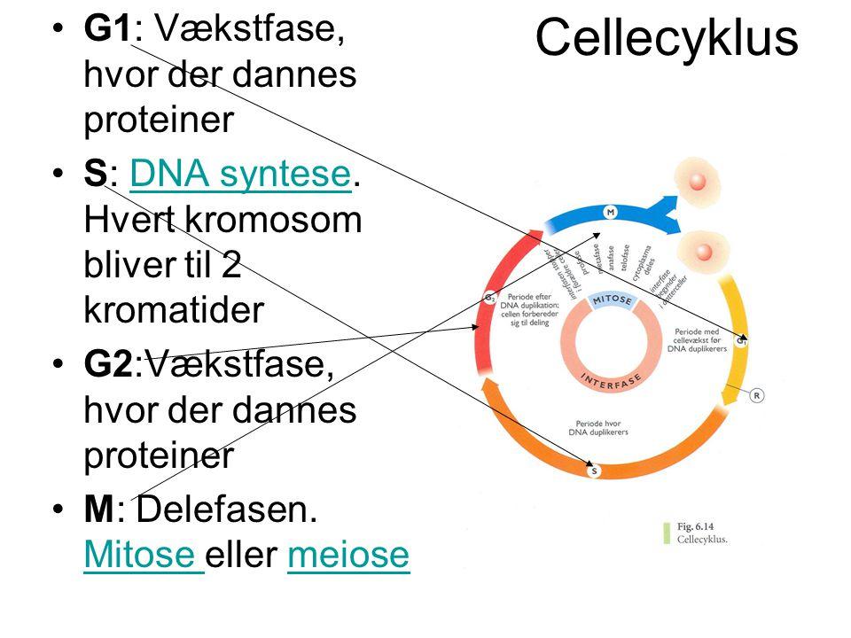 Cellecyklus •G1: Vækstfase, hvor der dannes proteiner •S: DNA syntese. Hvert kromosom bliver til 2 kromatiderDNA syntese •G2:Vækstfase, hvor der danne