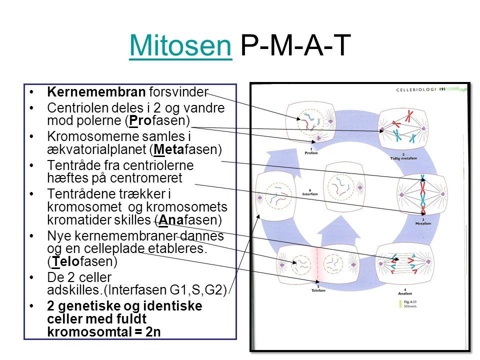 MitosenMitosen P-M-A-T •Kernemembran forsvinder •Centriolen deles i 2 og vandre mod polerne (Profasen) •Kromosomerne samles i ækvatorialplanet (Metafa