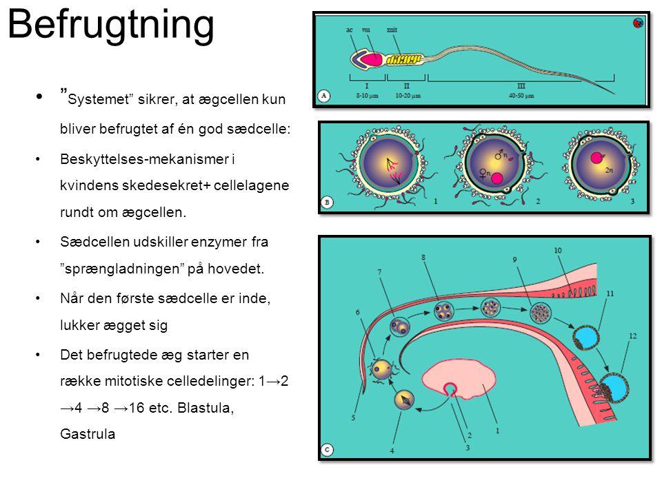 Befrugtning •Blastocysten når livmoderhulen efter 5 dage •Blastocysten hæfter sig til slimhinden, der voksen henover forsteranlægget (moderkagen) •Kort efter blastocysten er implanteret, producerer den hormonet HCG(Humant choriongonadotropin).