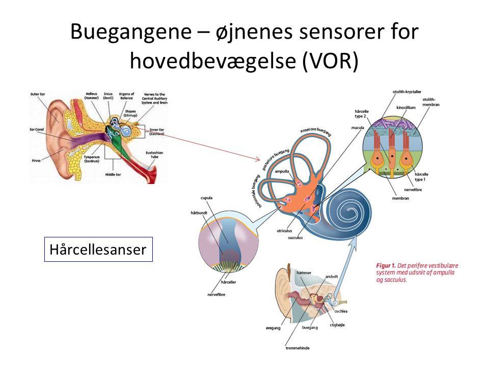 Buegangene – øjnenes sensorer for hovedbevægelse (VOR) Hårcellesanser