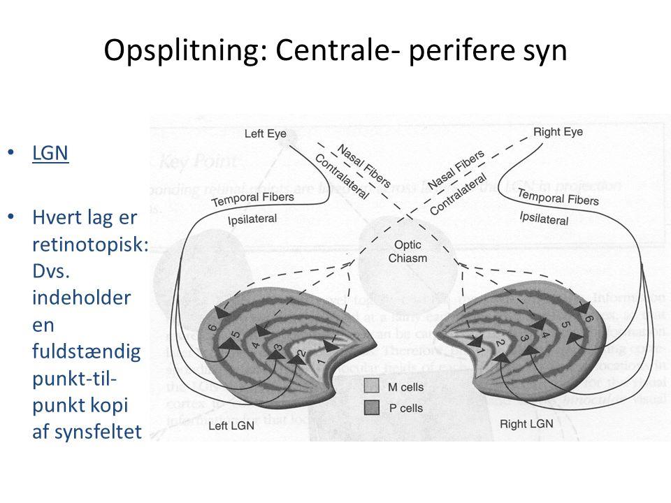 Opsplitning: Centrale- perifere syn • LGN • Hvert lag er retinotopisk: Dvs. indeholder en fuldstændig punkt-til- punkt kopi af synsfeltet