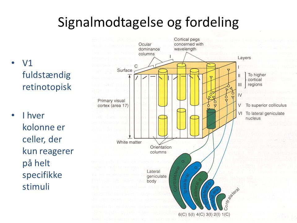 Signalmodtagelse og fordeling • V1 fuldstændig retinotopisk • I hver kolonne er celler, der kun reagerer på helt specifikke stimuli