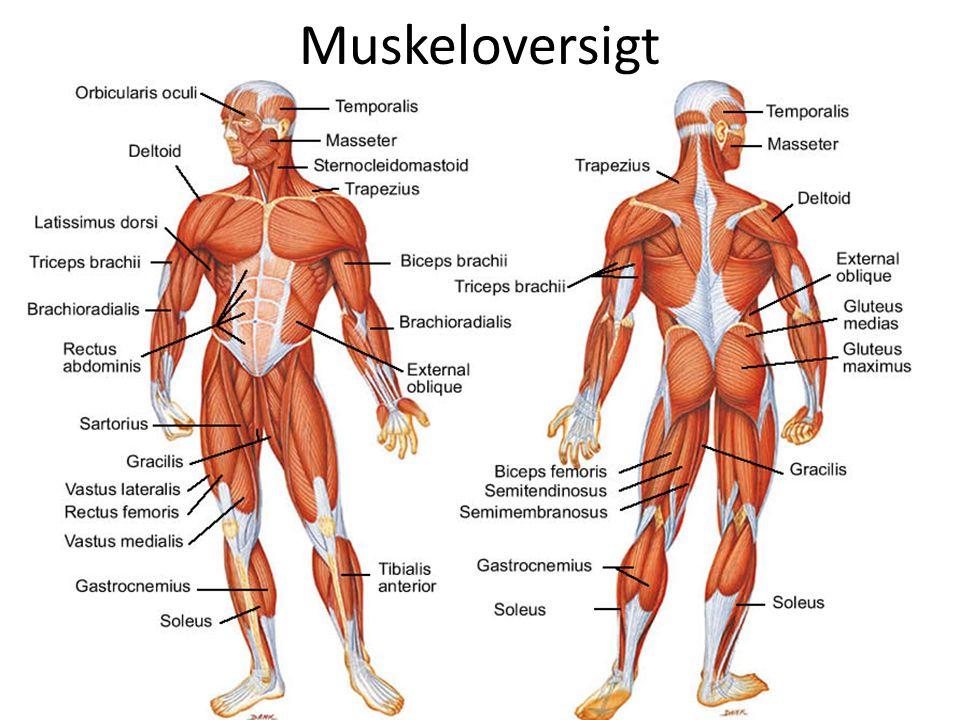 Muskeloversigt