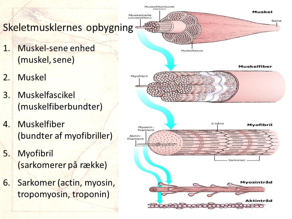 Skeletmusklernes opbygning 1.Muskel-sene enhed (muskel, sene) 2.Muskel 3.Muskelfascikel (muskelfiberbundter) 4.Muskelfiber (bundter af myofibriller) 5.Myofibril (sarkomerer på række) 6.Sarkomer (actin, myosin, tropomyosin, troponin)