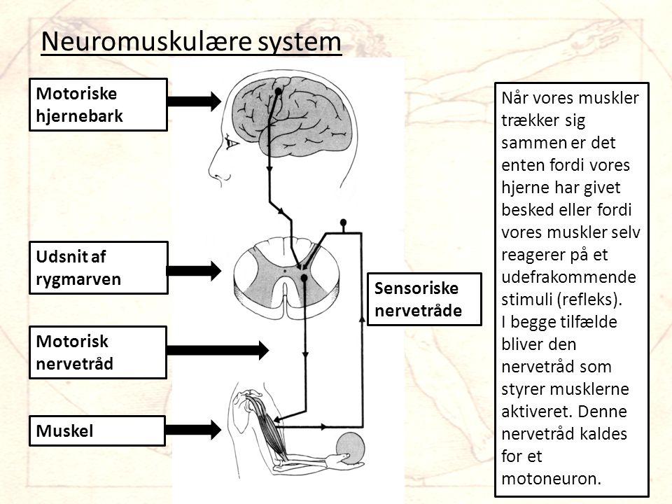 Neuromuskulære system Muskel Motorisk nervetråd Udsnit af rygmarven Motoriske hjernebark Sensoriske nervetråde Når vores muskler trækker sig sammen er det enten fordi vores hjerne har givet besked eller fordi vores muskler selv reagerer på et udefrakommende stimuli (refleks).