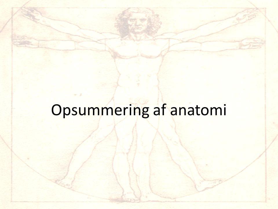 Opsummering af anatomi