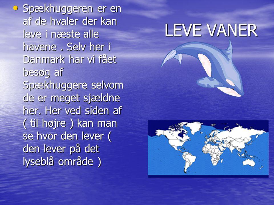 LEVE VANER • Spækhuggeren er en af de hvaler der kan leve i næste alle havene.