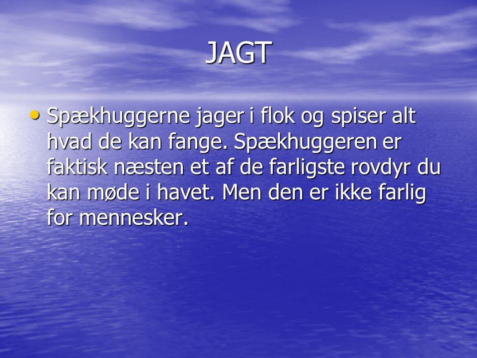 Atletik • Spækhuggeren er meget atletisk den kan springe højt og vende sig om meget hurtigt den kan svømme 50 km/t.
