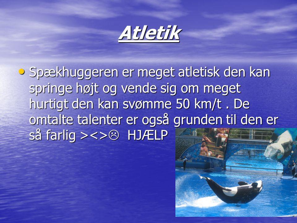 Atletik • Spækhuggeren er meget atletisk den kan springe højt og vende sig om meget hurtigt den kan svømme 50 km/t. De omtalte talenter er også grunde