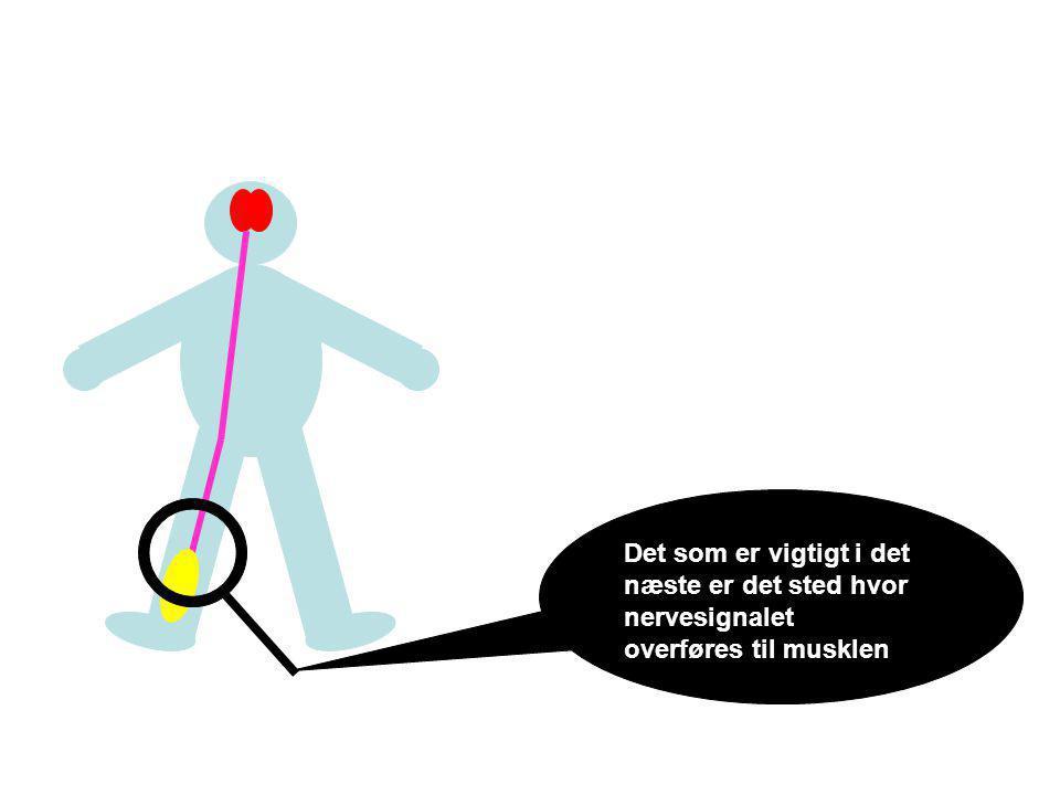 Spidsen af en nerve Nervespidsen indeholder små bobler/blære der indeholder et kemisk signalstof Overfladen på musklen Et væskefyldt mellemrum mellem nerve og muskel Nerve-muskel forbindelsen