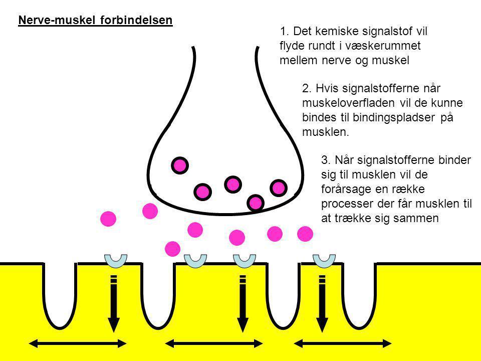 Nerve-muskel forbindelsen Lidt forsimplet kan man sige at jo flere signalstoffer der binder sig til musklen, jo mere vil den trække sig sammen.