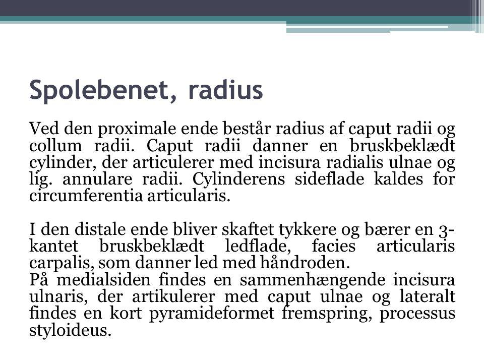 Spolebenet, radius Ved den proximale ende består radius af caput radii og collum radii.