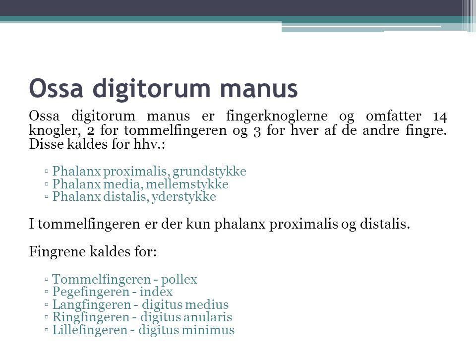 Ossa digitorum manus Ossa digitorum manus er fingerknoglerne og omfatter 14 knogler, 2 for tommelfingeren og 3 for hver af de andre fingre.