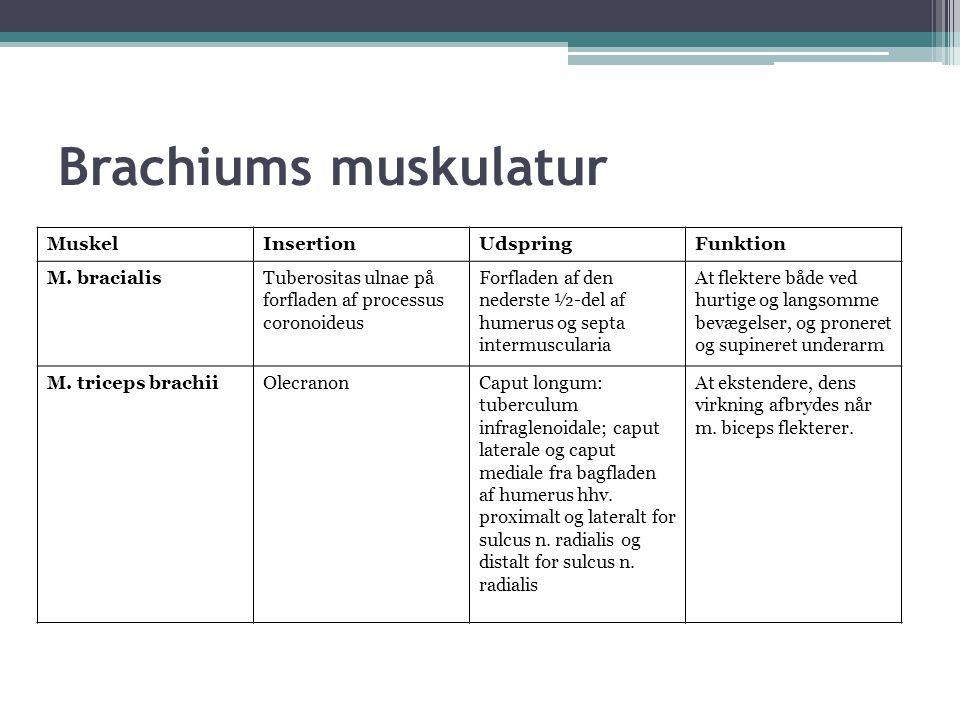 Brachiums muskulatur MuskelInsertionUdspringFunktion M.