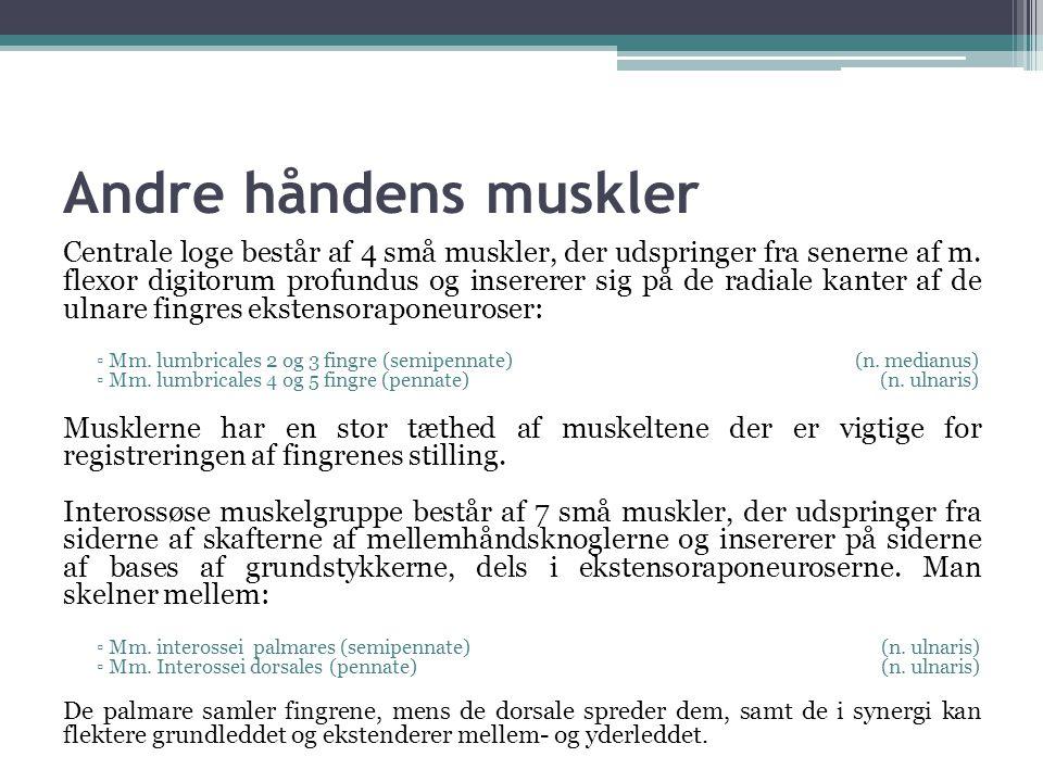 Andre håndens muskler Centrale loge består af 4 små muskler, der udspringer fra senerne af m.