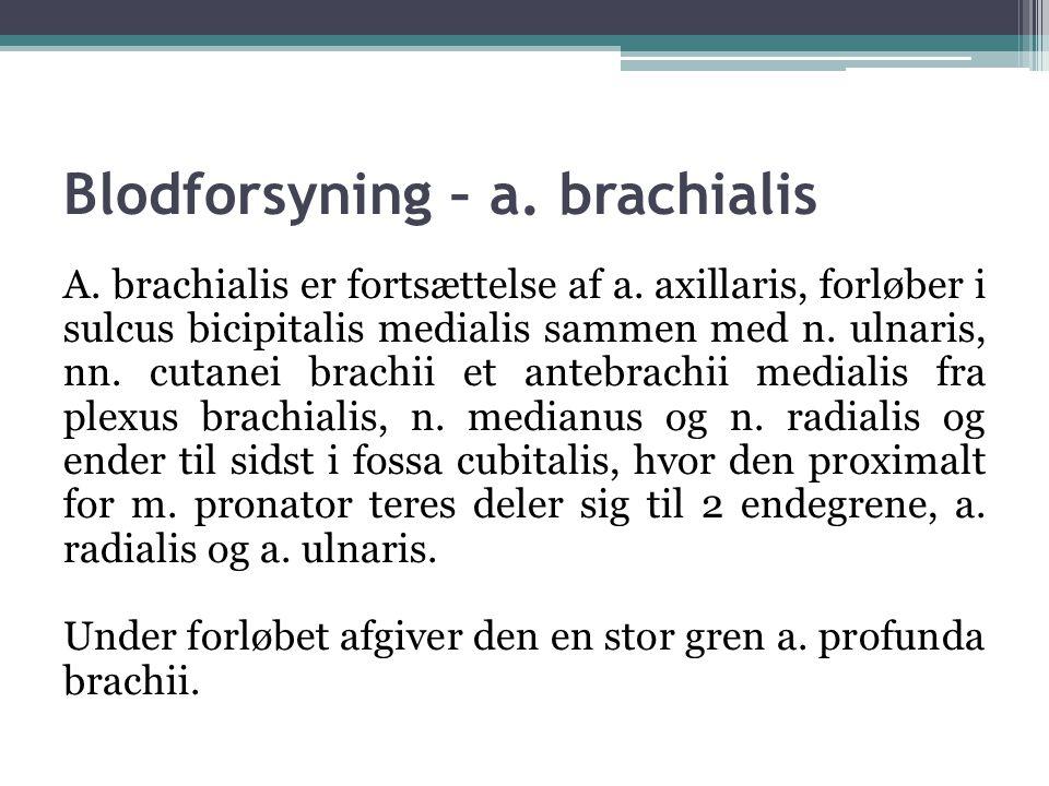 Blodforsyning – a.brachialis A. brachialis er fortsættelse af a.