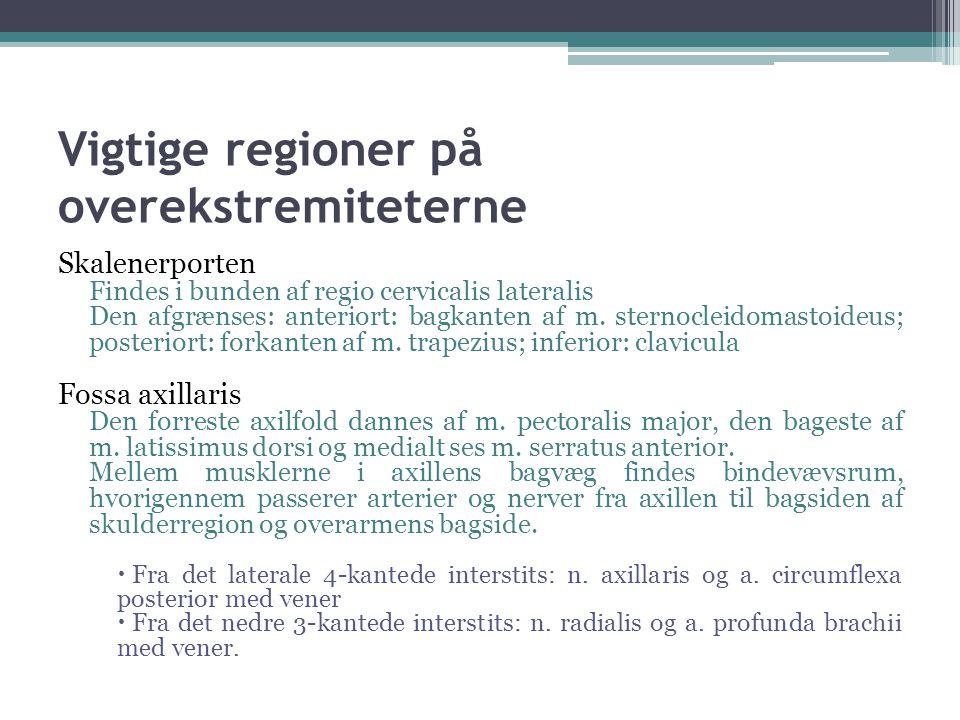Vigtige regioner på overekstremiteterne Skalenerporten Findes i bunden af regio cervicalis lateralis Den afgrænses: anteriort: bagkanten af m.