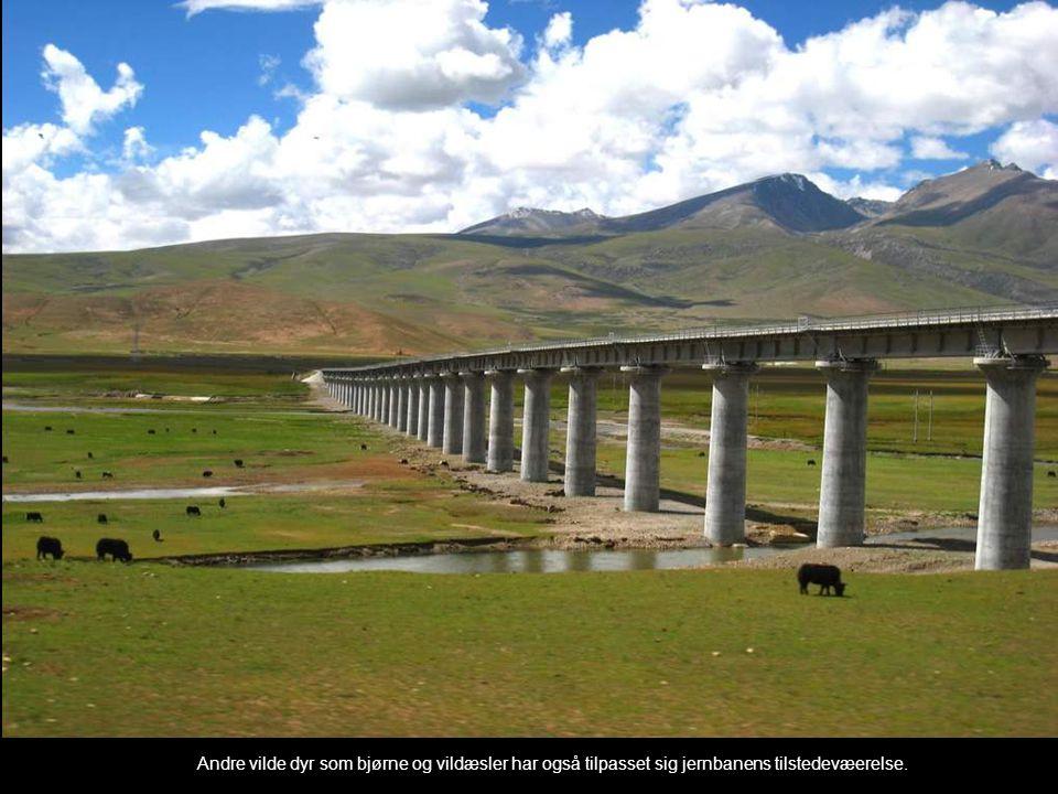 Andre vilde dyr som bjørne og vildæsler har også tilpasset sig jernbanens tilstedevæerelse.