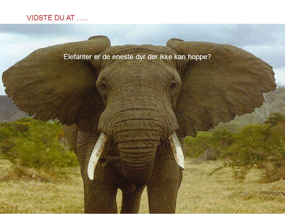 Elefanter er de eneste dyr der ikke kan hoppe? VIDSTE DU AT …..
