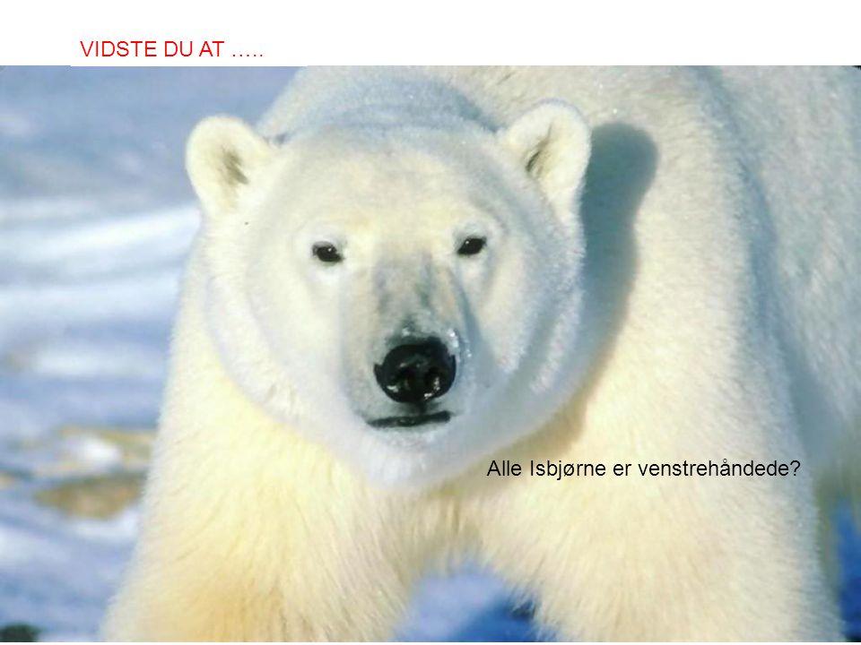 Alle Isbjørne er venstrehåndede? VIDSTE DU AT …..