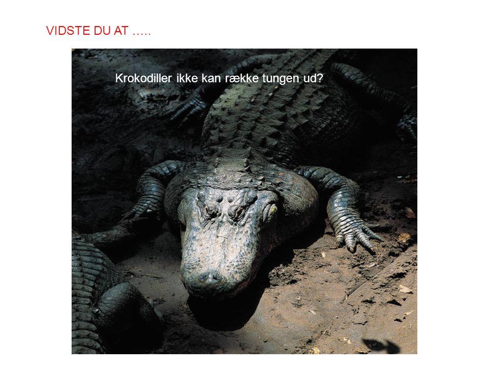 Krokodiller ikke kan række tungen ud? VIDSTE DU AT …..