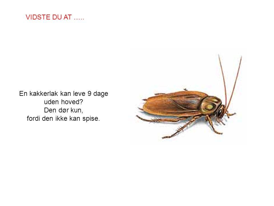 En kakkerlak kan leve 9 dage uden hoved? Den dør kun, fordi den ikke kan spise. VIDSTE DU AT …..