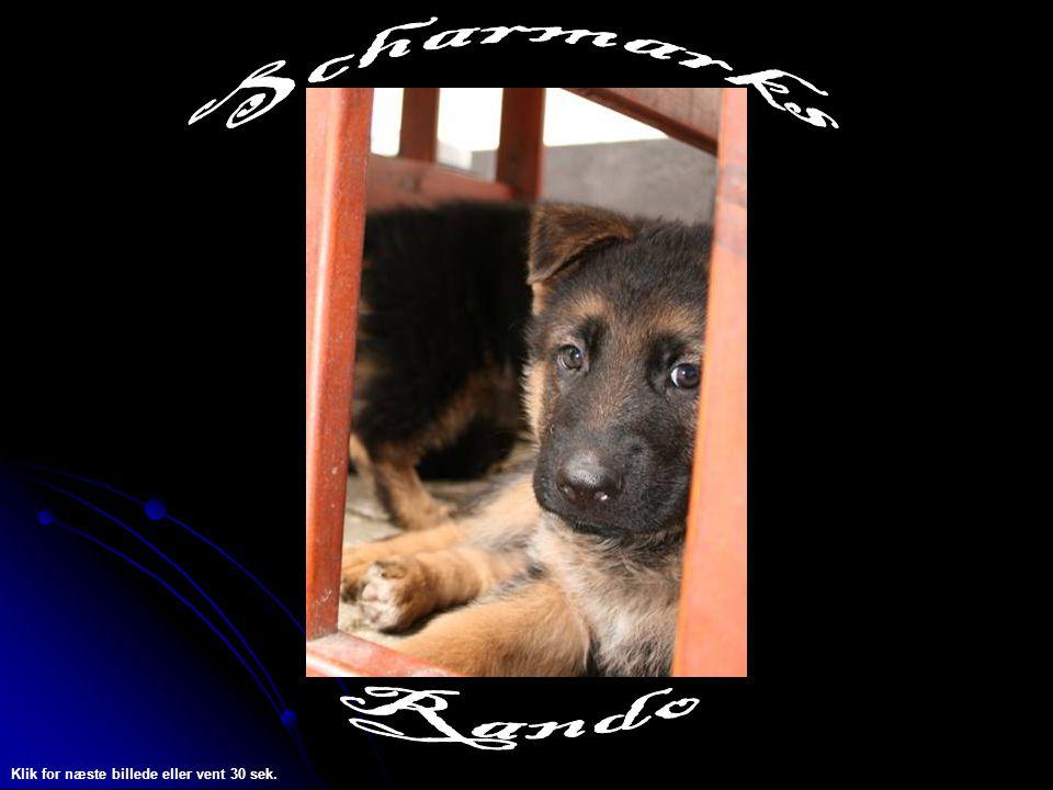 Hej Jeg hedder Rando og er fra kennel Scharmark.Jeg er født den 19.